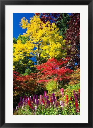 Framed Autumn Color, Butchard Gardens, Victoria, British Columbia, Canada Print