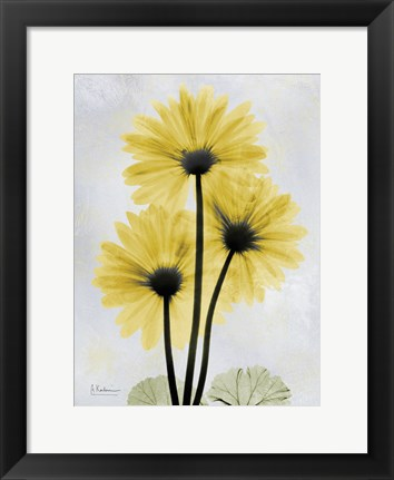 Framed Golden Gerbera 1 Print