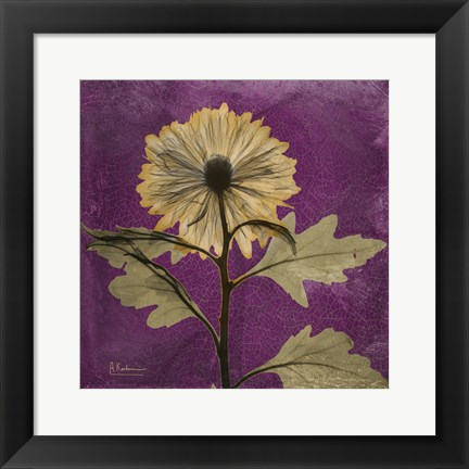 Framed Chrysanthemum Purple III Print
