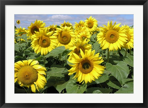 Framed Sunflower 21 Print