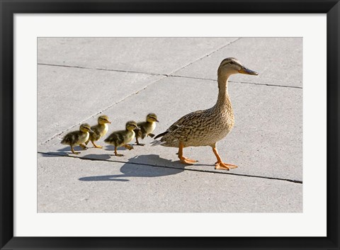 Framed Mallard hen and ducklings in Madison, Wisconsin Print