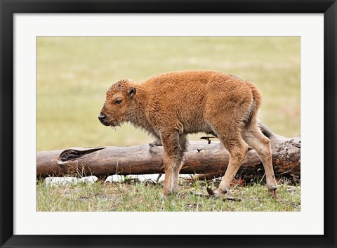 Framed Baby Bison, Yellowstone National Park, Wyoming Print