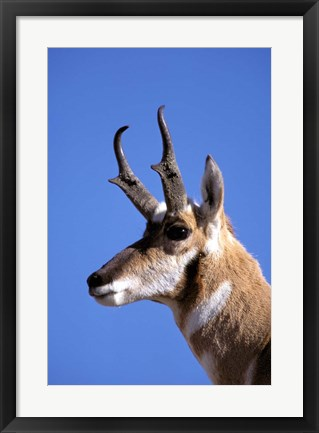 Framed Wyoming, Yellowstone NP, Male Pronghorn Wildlife Print