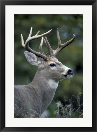 Framed White-tailed Deer, Buck, Washington Print