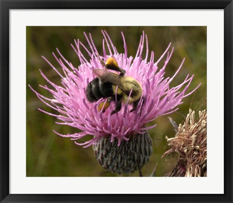Framed Thistle and bumble bee Print