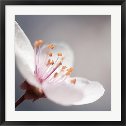 Framed Cherry Flower 1 Print
