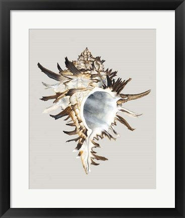 Framed Black Murex Print