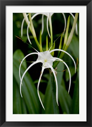 Framed National Orchid Garden, Singapore Print