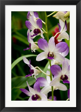 Framed Flowers in National Orchid Garden, Singapore Print