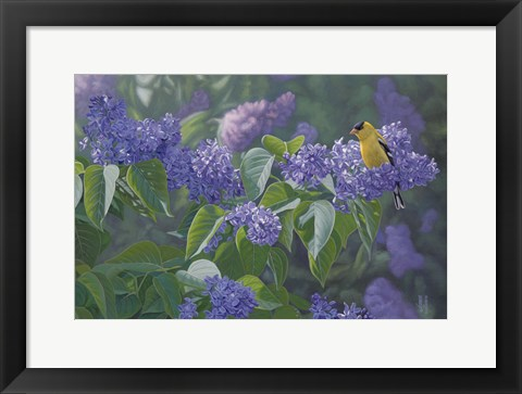 Framed Hint of Gold - Goldfinch and Lilacs Print