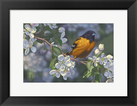 Framed Oriole and Apple Blossoms Print