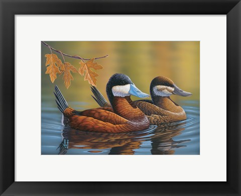 Framed Stiff Tails Ruddy Ducks Print