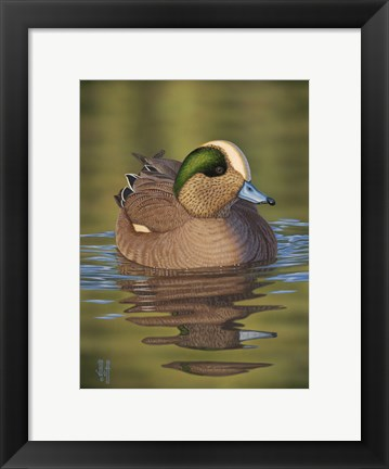 Framed Wigeon Print