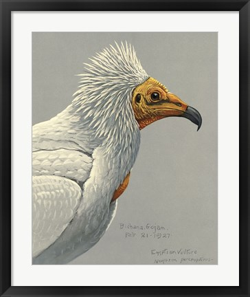 Framed Abyssinian Egyptian Vulture Print