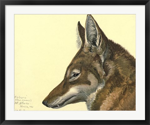 Framed Abyssinian Wolf Print