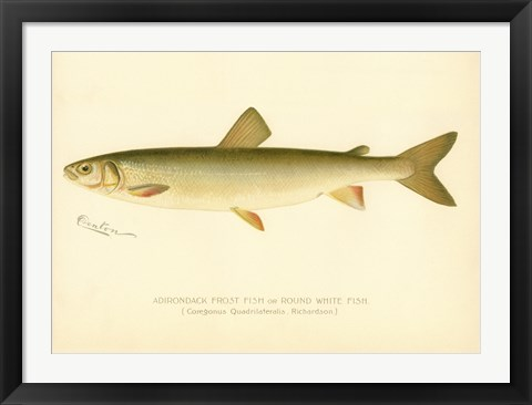 Framed Adirondack Frost Fish Print