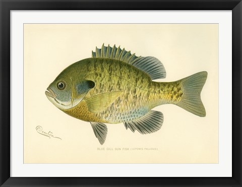 Framed Blue Gill Sun Fish Print