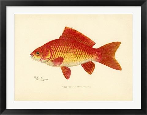 Framed Goldfish Print