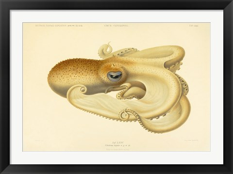 Framed Octopus - Die Cephalopod - 1915 - Plate 75 Print