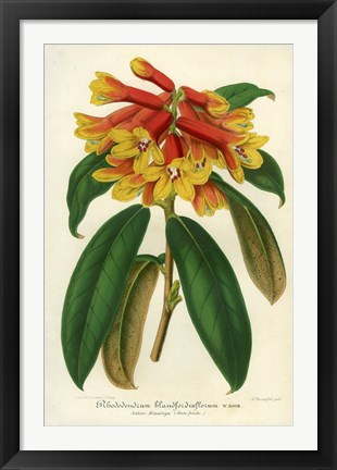 Framed Orange Yellow Rhododendron Print