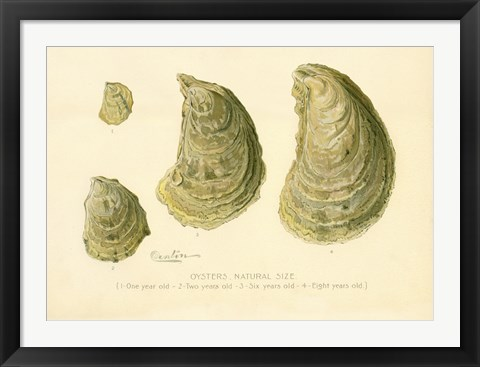 Framed Oysters Natural Size Print