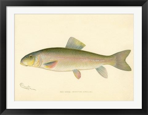 Framed Red Horse Fish Print