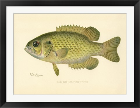 Framed Rock Bass Print