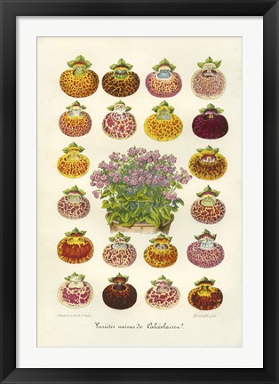 Framed Slipper Flower Varieties Print