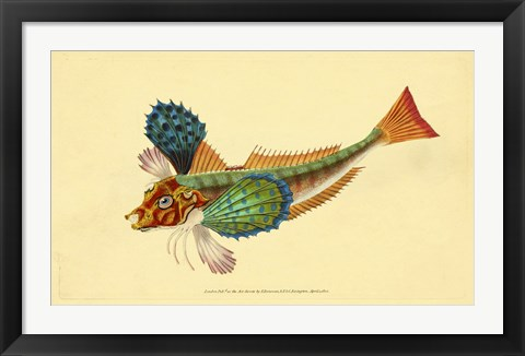 Framed Natural History of British Fishes - Plate 1 Print