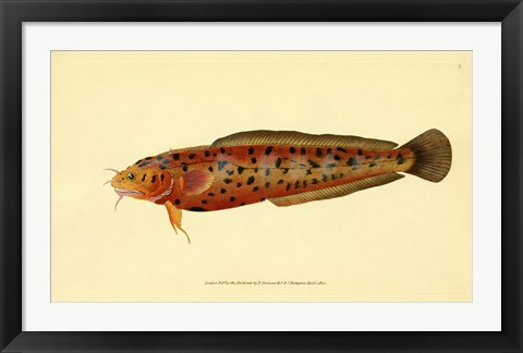 Framed Natural History of British Fishes - Plate 2 Print