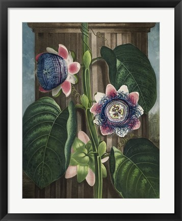 Framed Quadrangular Passion-Flower Print