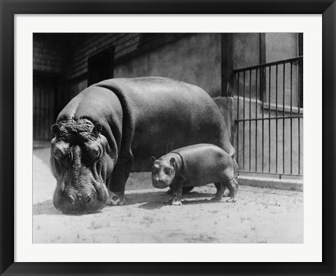 Framed Adult and Baby Hippopotamus Print