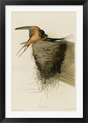 Framed Barn Swallow Print