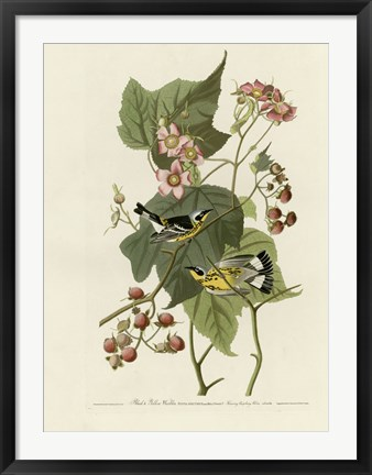 Framed Black And Yellow Warblers Print