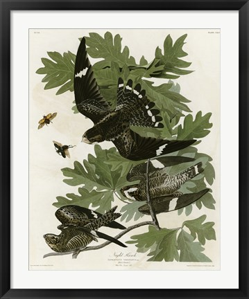 Framed Night Hawk Print