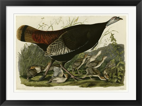 Framed Wild Turkey Print