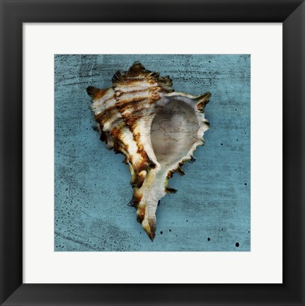 Framed Horned Whelk Print