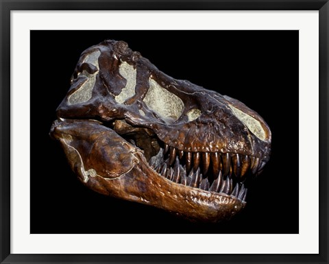 Framed Fossilized Skull of a T Rex Print