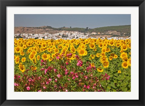 Framed Spain, Andalusia, Bornos Sunflower Fields Print