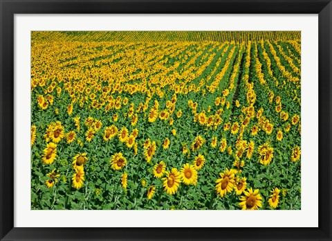 Framed Spain, Andalusia, Cadiz Province Sunflower Fields Print