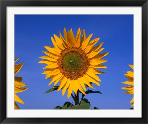 Framed Sunflowers, Spain Print