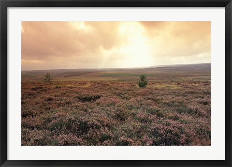 Framed Heather, near Danby, North York Moors, England Print