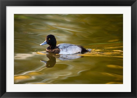 Framed UK, Tufted Duck on pond reflecting Fall colors Print