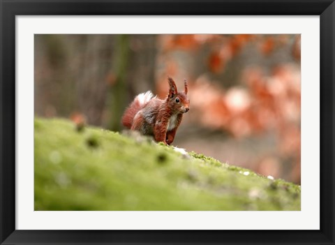 Framed UK, England Red Squirrel Print