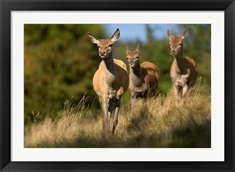 Framed UK, England, Red Deer, Hinds on heathland Print