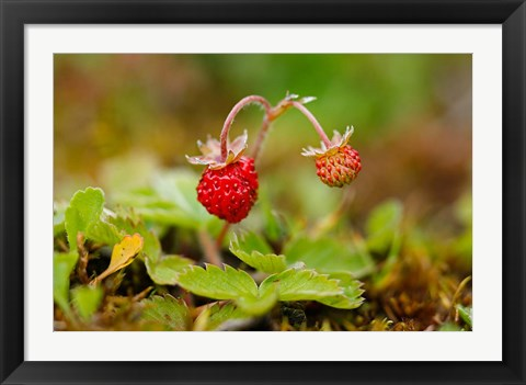 Framed UK, England, Strawberry fruit, garden Print