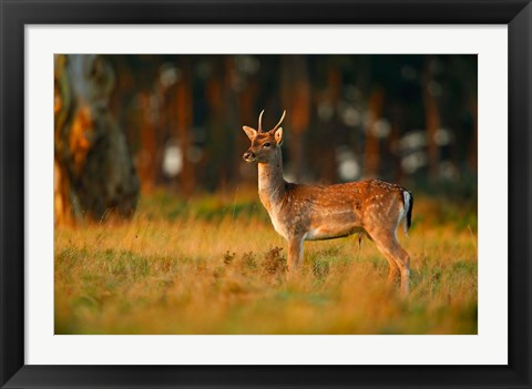 Framed UK, Forest of Dean, Fallow Deer Print