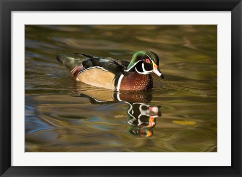 Framed USA Carolina or Wood Duck, reflected in a Pond Print
