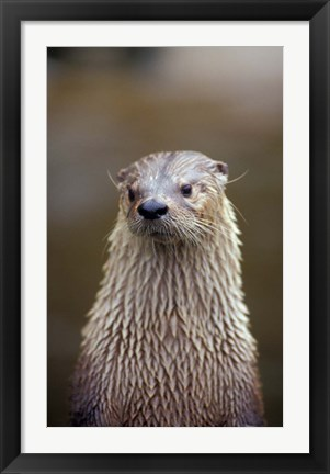 Framed Otter Sanctuary, English Otter, Buckfast, Devon, England Print