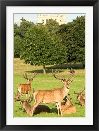 Framed English red deer stags, Nottingham, England Print